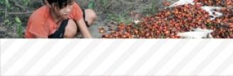 01.12.2016 - Colgate, Nestlé, Kellogg's… Achètent de l'huile de palme produite par des enfants